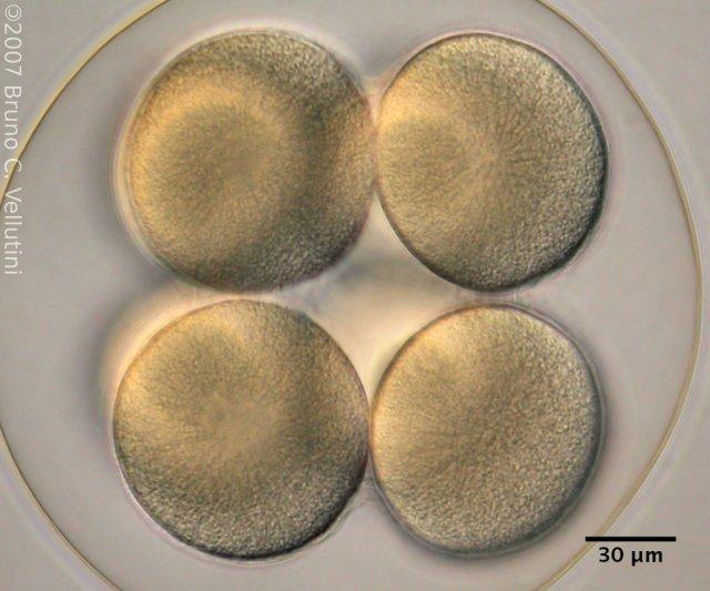 8 células (pólo animal)