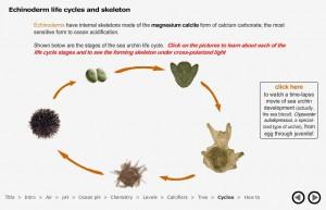 Ciclo de vida dos equinodermos no Virtual Urchin.